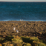 Magellanic Penguins | 10/01/2021